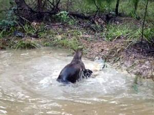 Duel mes një kanguri dhe një qeni