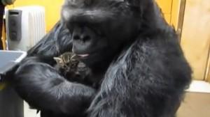 Gorilla luan me macet