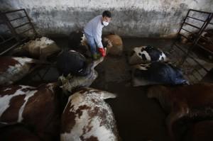 Sarajevë: Ngordhja e mijëra kafshëve, rrezikon sëmundje vdekjeprurëse
