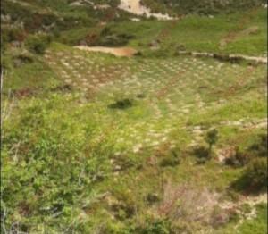 Asgjesohen 3500 fidanë kanabis gati për tu mbjellë