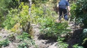 Zbulohet parcela me kanabis, asgjësohen 130 rrënjë