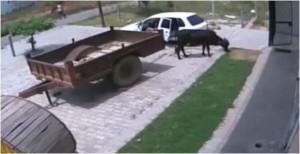 Hajduti që vjedh lopën me një Fiat Panda