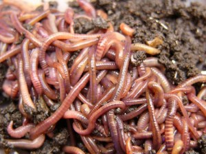 Ushqimet e së ardhmes, larva, krimba e insekte